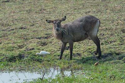 Defassa waterbuck, Kafue