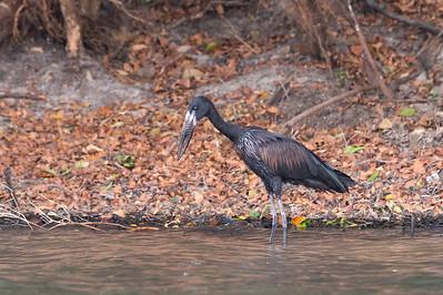 Openbill stork, Kafue River