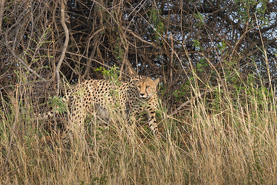 Cheetah, Busanga Plains, Kafue