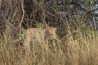 Cheetah, Busanga Plains, Kafue