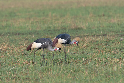 Grey-crowned cranes, Busanga Plains, Kafue