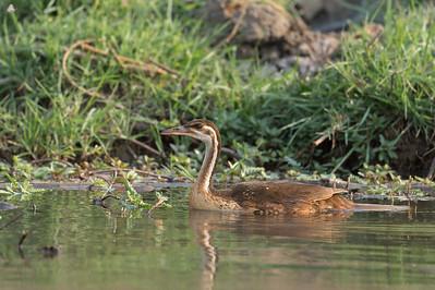 African finfoot, Kafue River