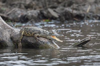 Crocodile, Kafue River