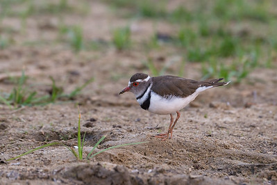 Three banded plover, Kafue River