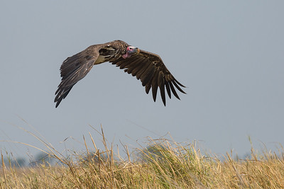 Lappet-faced vulture, Busanga Plains, Kafue