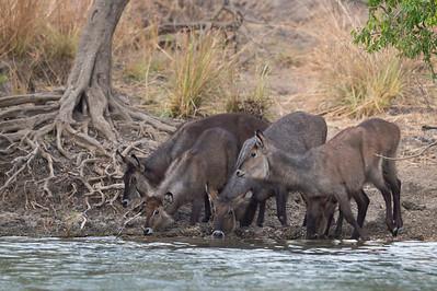 Defassa waterbuck, Kafue River