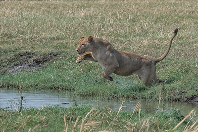 Lion jumping, Busanga Plains, Kafue