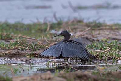 Black heron, Kafue River