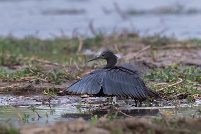 Black heron, Kafue River