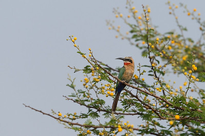 White-fronted bee-eater, Kafue River