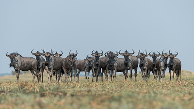 Blue wildebeest, Busanga Plains, Kafue
