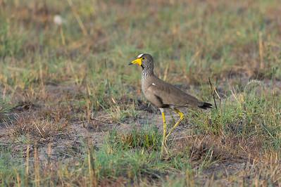African wattled lapwing, Busanga Plains, Kafue
