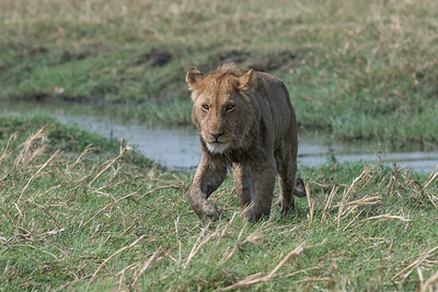 Lion, Busanga Plains, Kafue