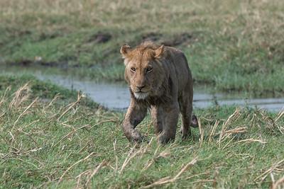 Lion, Busanga Plains, Kafue