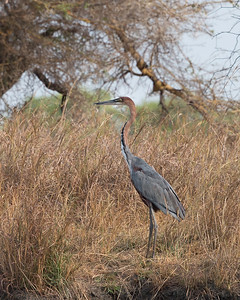 Goliath heron, Kafue River