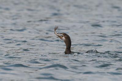 Reed cormorant, Kafue River