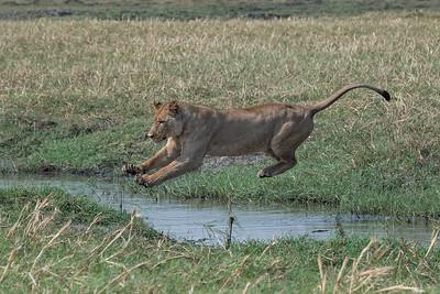Lion jumping, Busanga Plains, Kafue
