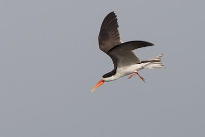 African skimmer, Kafue River