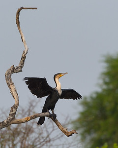 White-breasted cormorant, Kafue River