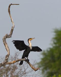White-breasted cormorant, Kafue River