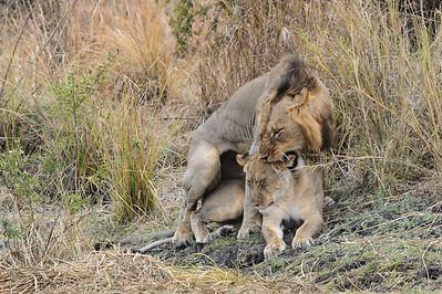 mating lions, Shumba