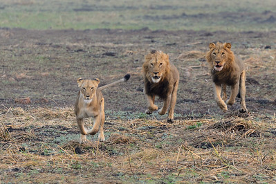 Day 2 - The female chased by Mkango (middle) and Shumba