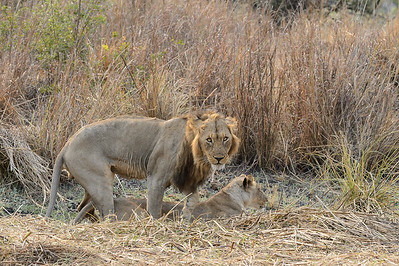 Day 1  - mating lions, Shumba with female