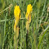 Castilleja levisecta (Golden paintbrush)