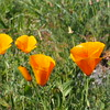 Eschscholtzia californica (California poppy)