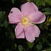 Rosa nutkana (Nootka rose)