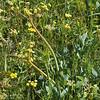 Lomatium nudicaule (Indian celery)