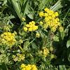 Lomatium utriculatum (Spring gold)