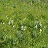Pteridium aquilinum (Bracken fern) and Zigadenus venenosus (Death camas)