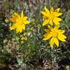Eriophyllum lanatum (Oregon sunshine)