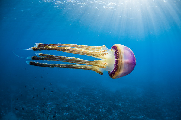 Pelagic Jellyfish, Backlit