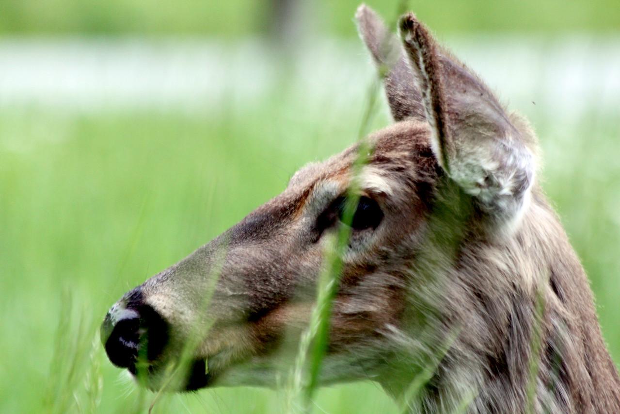 deer31