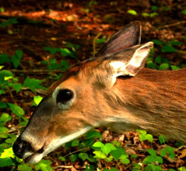deer6018