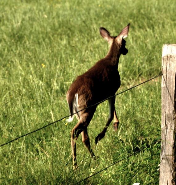 deer6017