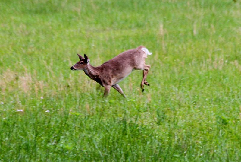deer56