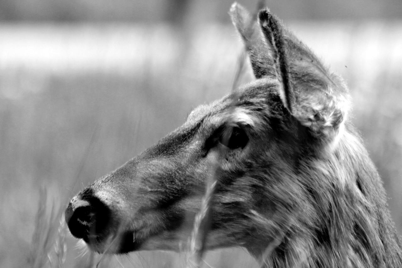 deer43