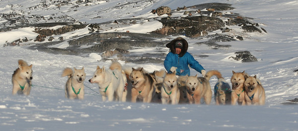 Sledgedogs - Slædehunde