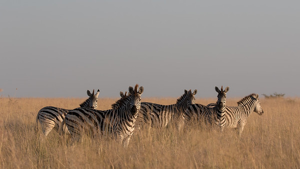 Plains Zebra in the Magadikgadi.  Just a few of the 20,000 strong migration.