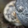 Kupee<br /> (c) Kauila Kealiikanakaole