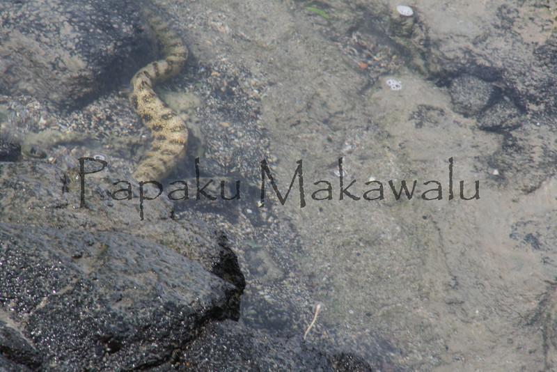 Puhi Kapa<br /> (c) Kalei Nuuhiwa