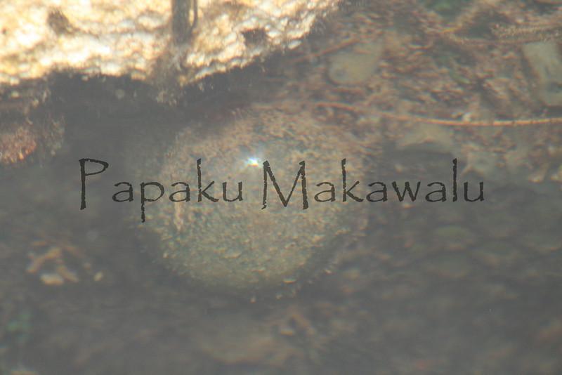 Sea Grape<br /> (c) Kalei Nuuhiwa<br /> Ventricaria ventricosa