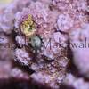 Rice Coral?<br /> (c) Kuulei Kanahele<br /> Laehala