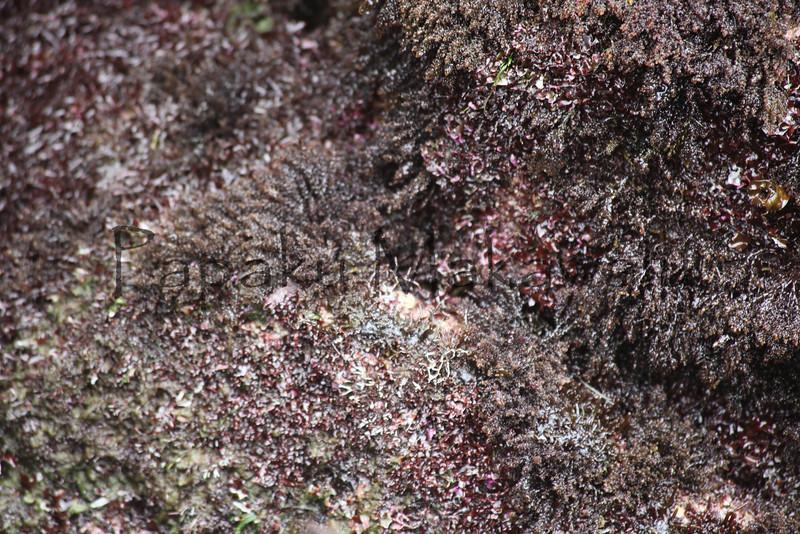 Spiny Seaweed<br /> (c) Pualani Kanahele