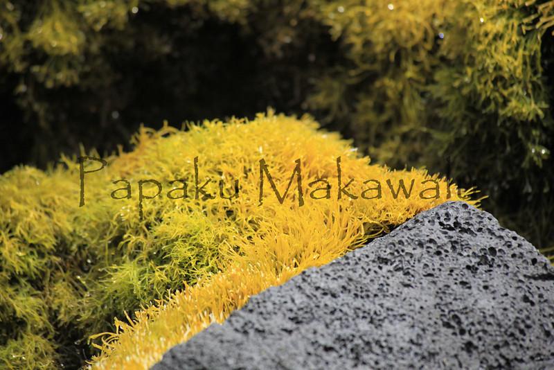 Limu Akiaki.Keaukaha<br /> (c) Pualani Kanahele