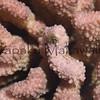 Cauliflower Coral<br /> (c) Kuulei Kanahele<br /> Laehala