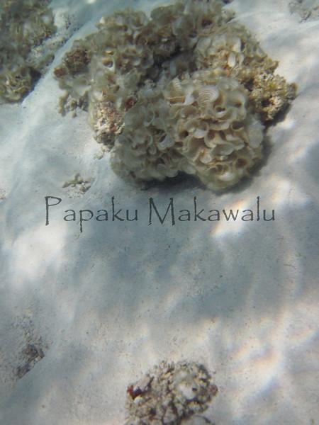 Padina<br /> (c) Kalei Nuuhiwa<br /> Padina spp.<br /> Kuaihelani